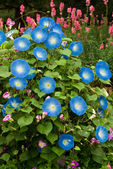 Blue flower, Morning glory flower — 图库照片