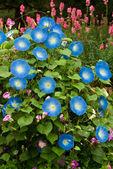 蓝色的花,牵牛花花 — 图库照片