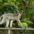 Stock Photo: Monkey run on wall