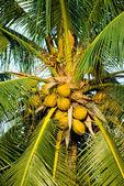 Yellow coconut on coconut tree — Stock Photo