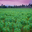 Cassava farm with sunset time — Stock Photo
