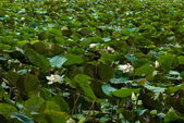 Lotus in the swamp area — Stock Photo
