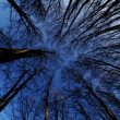 High trees with blue sky — Stock Photo