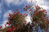 Red flowers of the pohutukawa tree — Stock Photo