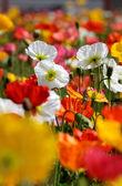 多彩罂粟 — 图库照片
