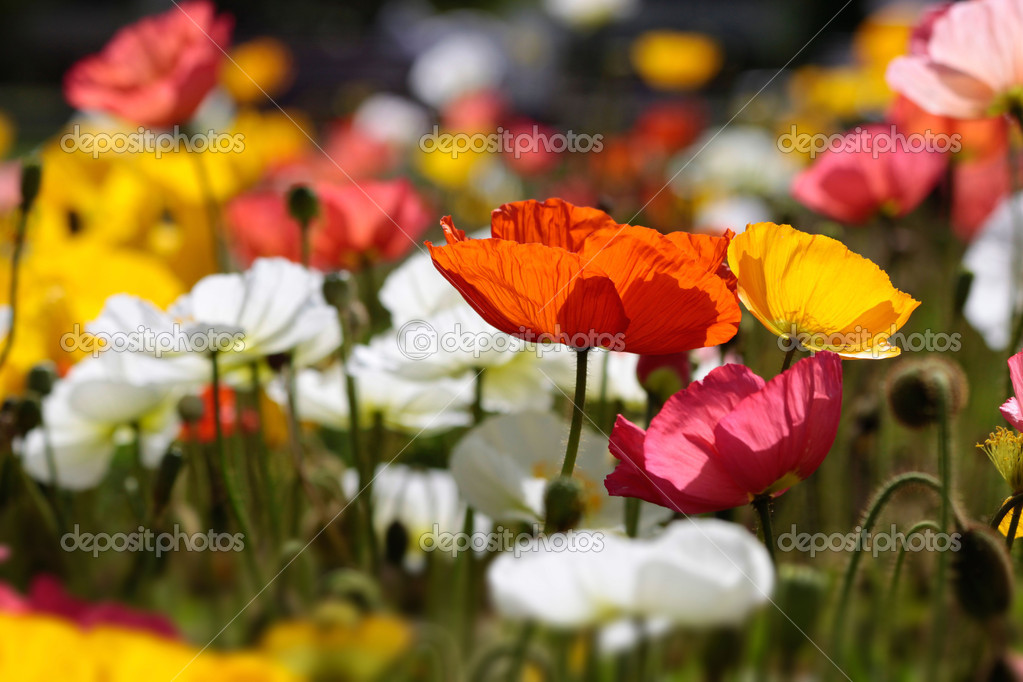 colorful poppies  stock photo © cmfotoworks, Beautiful flower