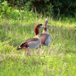 Egyptian geese in a field — Stock Photo