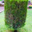 Topiary trimmed bush — Stock Photo
