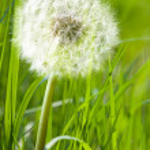 Dandelion in spring green grass — Stock Photo #5557320