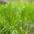 Grass with flying dandelion seeds — Stock Photo #5557324
