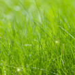 Clear green grass — Stock Photo