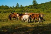 Bakan at sürüsü — Stok fotoğraf