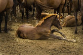 Stud in the herd — Zdjęcie stockowe