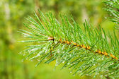 Pine needle with raindrops — Stock Photo