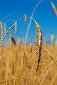 Gold wheat ear — Stock Photo