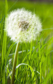 Dandelion in spring green grass — Stock Photo