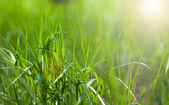 Sunny spring light green grass — Stock Photo
