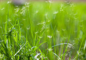 Grass with flying dandelion seeds — Stock Photo