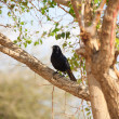 Tristram's Starling bird — Stock Photo