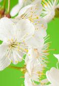Cherry tree flowers on green — Stock Photo