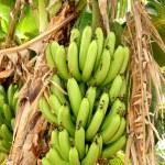 Bunch of green bananas — Stock Photo #6095826