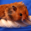 Little hamster - Stock Photo