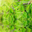 Green branch with a reflection — Stock Photo