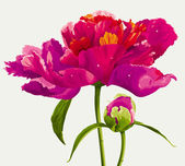 Flor peonía roja — Vector de stock