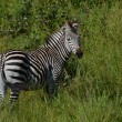 Zebra in Malawi — Stock Photo