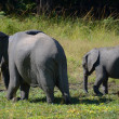 Elephants — Stock Photo #5520662