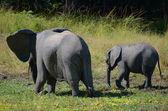 Elefantes — Foto de Stock