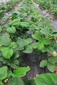 Dziedzinie hodowli truskawek — Zdjęcie stockowe