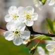 Blossoming tree — Stock Photo #5686112