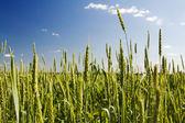 Unripe wheat — Stock Photo