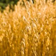 Stock Photo: Ripened oats