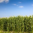 Stock Photo: Corn grows