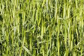 Green unripe wheat — Stock Photo