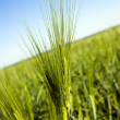 Green ear of barley — Stock Photo