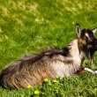 Goat on grass — Stock Photo #5839726