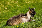 Goat on a grass — Stock Photo