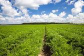 Carrot field — Stock Photo