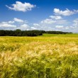 Stock Photo: Field with cereals