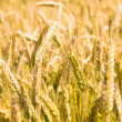 Stock Photo: Ripened wheat