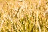 Ripened wheat — Stock Photo