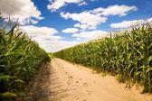 Groene maïs — Stockfoto