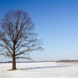 Tree in the winter — Stock Photo