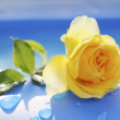 Yellow rose on a blue background — Stock Photo