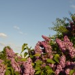 Lilacs — Stock Photo #5872892