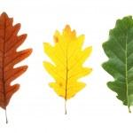 Colorful oak leaves — Stock Photo