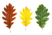 Colorful oak leaves — 图库照片